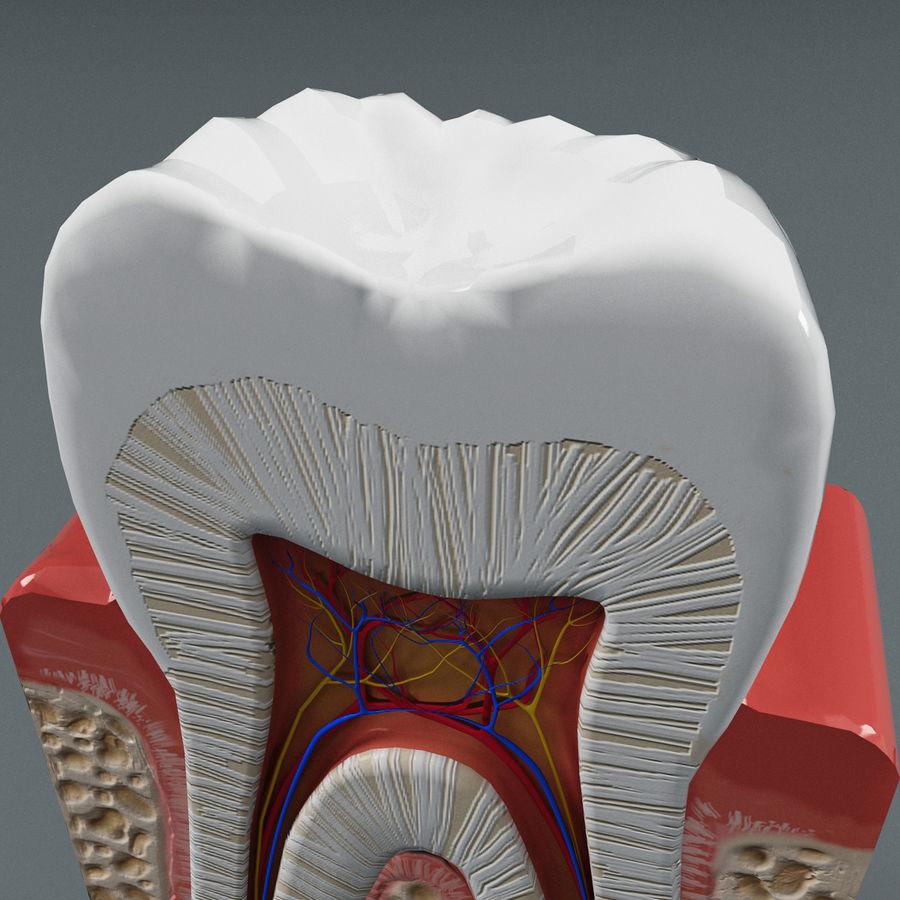 牙齿解剖学 royalty-free 3d model - Preview no. 8