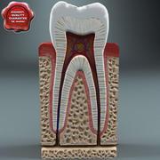 歯の解剖学 3d model