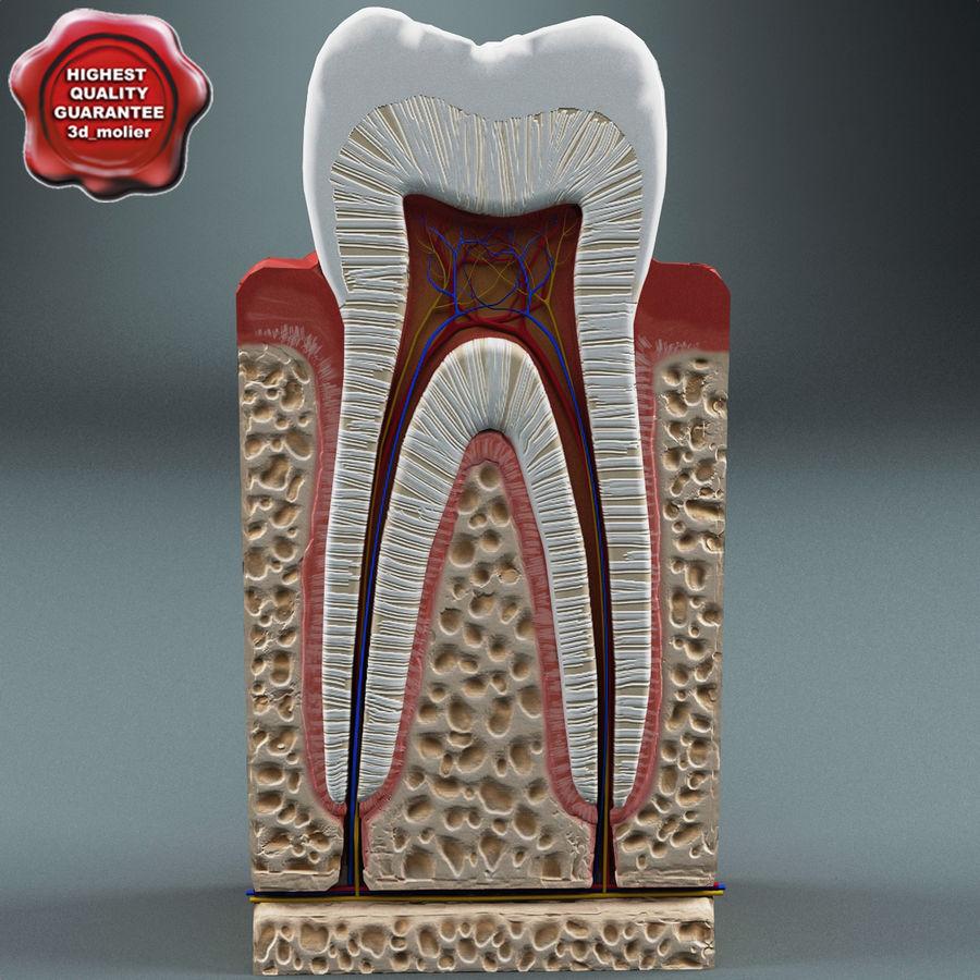 牙齿解剖学 royalty-free 3d model - Preview no. 1