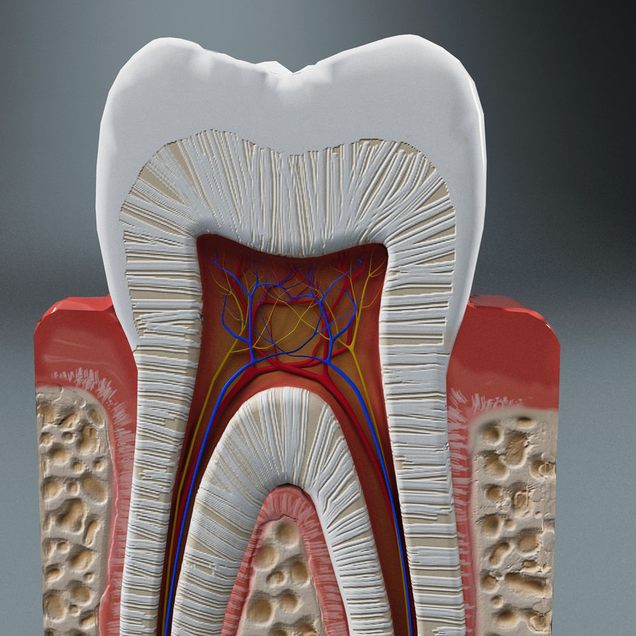 Tooth Anatomy royalty-free 3d model - Preview no. 7