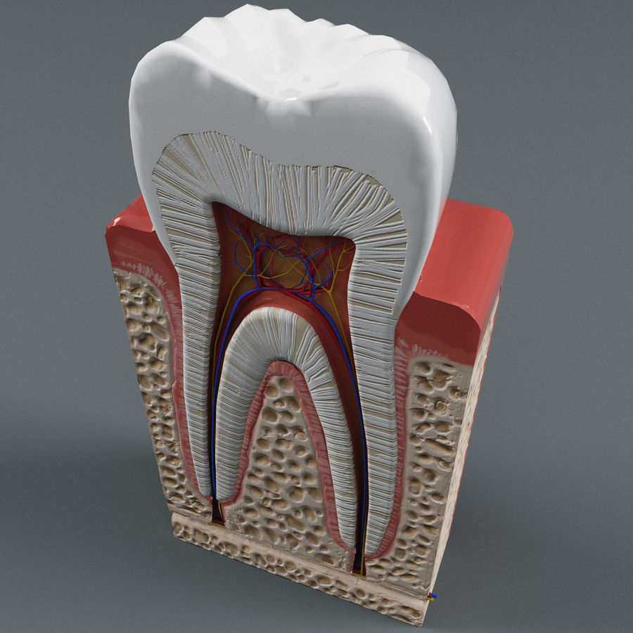 牙齿解剖学 royalty-free 3d model - Preview no. 5