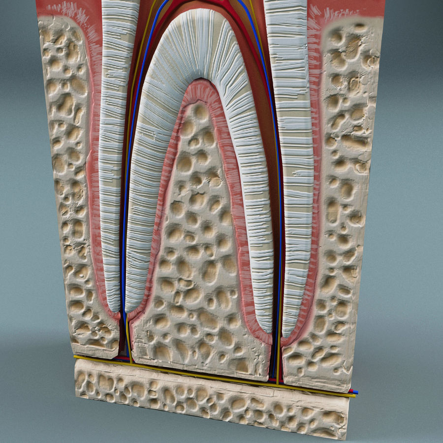 牙齿解剖学 royalty-free 3d model - Preview no. 6