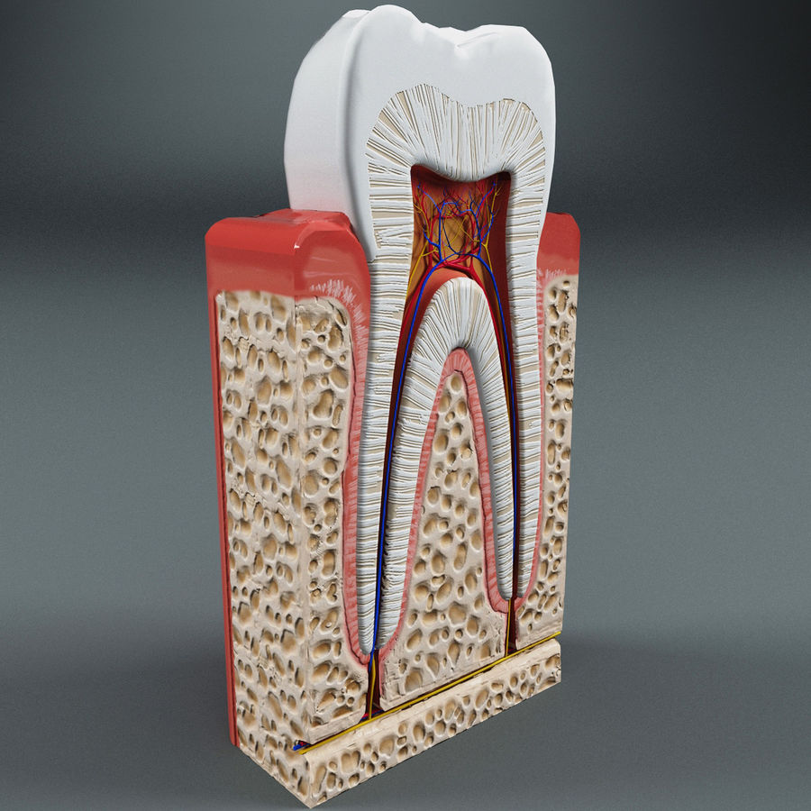 Tooth Anatomy royalty-free 3d model - Preview no. 2