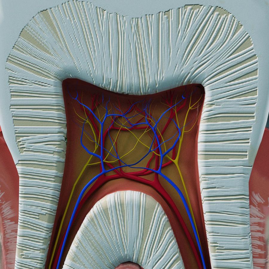 牙齿解剖学 royalty-free 3d model - Preview no. 9