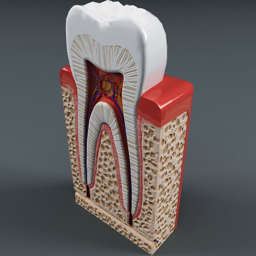 Tooth Anatomy royalty-free 3d model - Preview no. 4