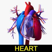 Circulatory system / Heart 3d model