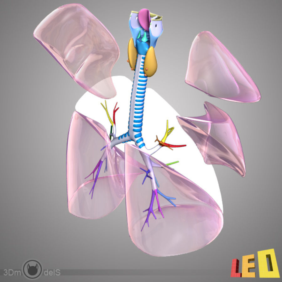 Respiratory System / Lung royalty-free 3d model - Preview no. 8