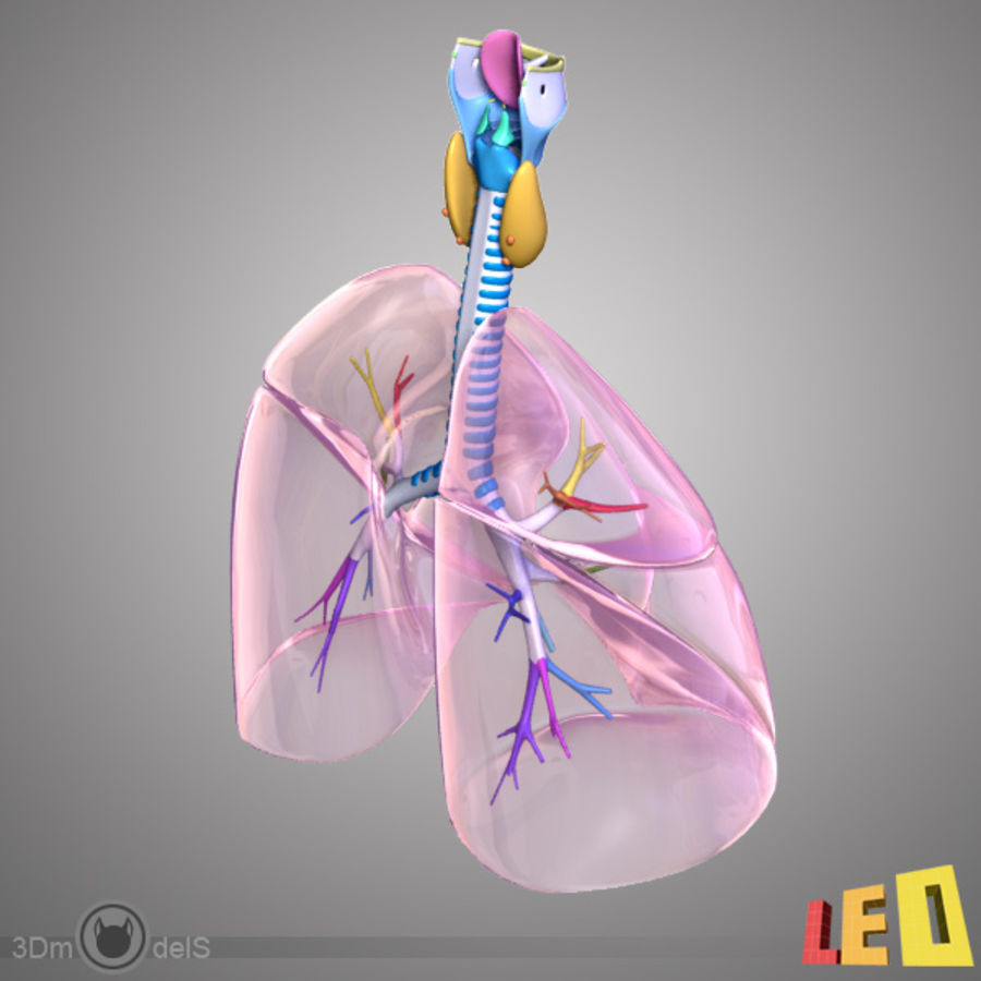 Respiratory System / Lung royalty-free 3d model - Preview no. 7