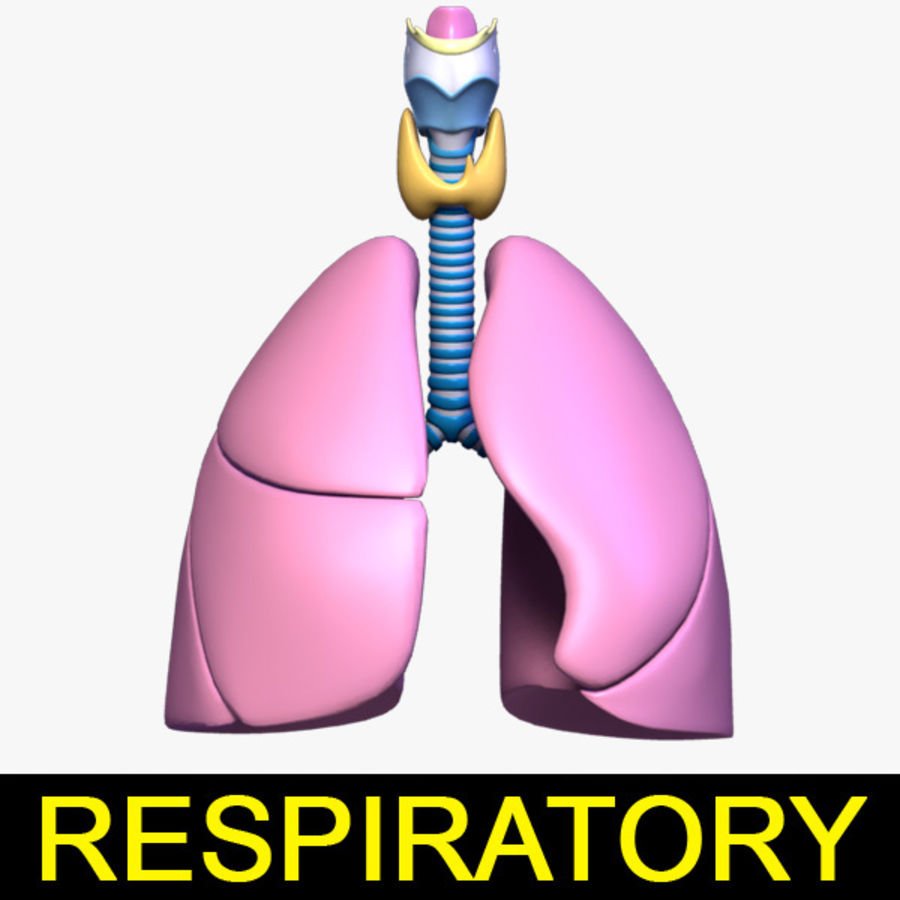 Respiratory System / Lung royalty-free 3d model - Preview no. 1