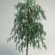 birch betula pendula 3d model