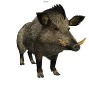 Boar 3d model