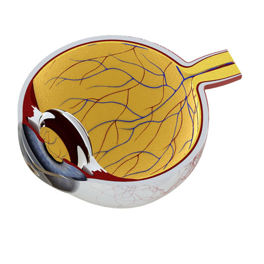 Eye anatomy royalty-free 3d model - Preview no. 3
