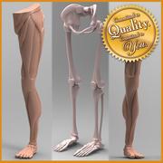 Human Leg Anatomy [Combo Pack] 3d model