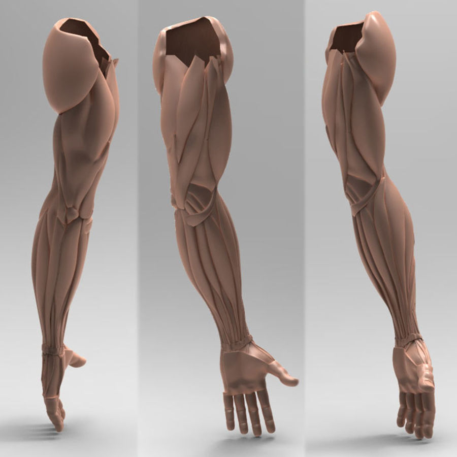Anatomie du bras humain royalty-free 3d model - Preview no. 3