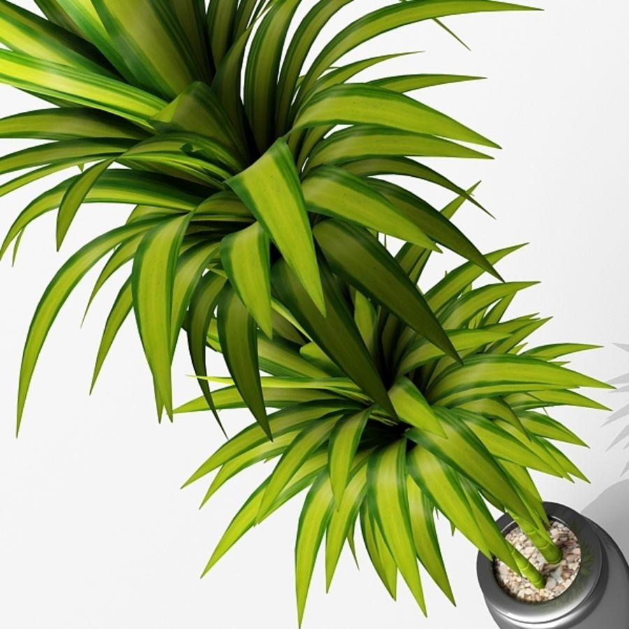 Dracaena Pot plant royalty-free 3d model - Preview no. 3