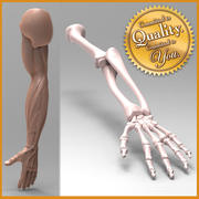 Human Arm Anatomy [Combo Pack] 3d model