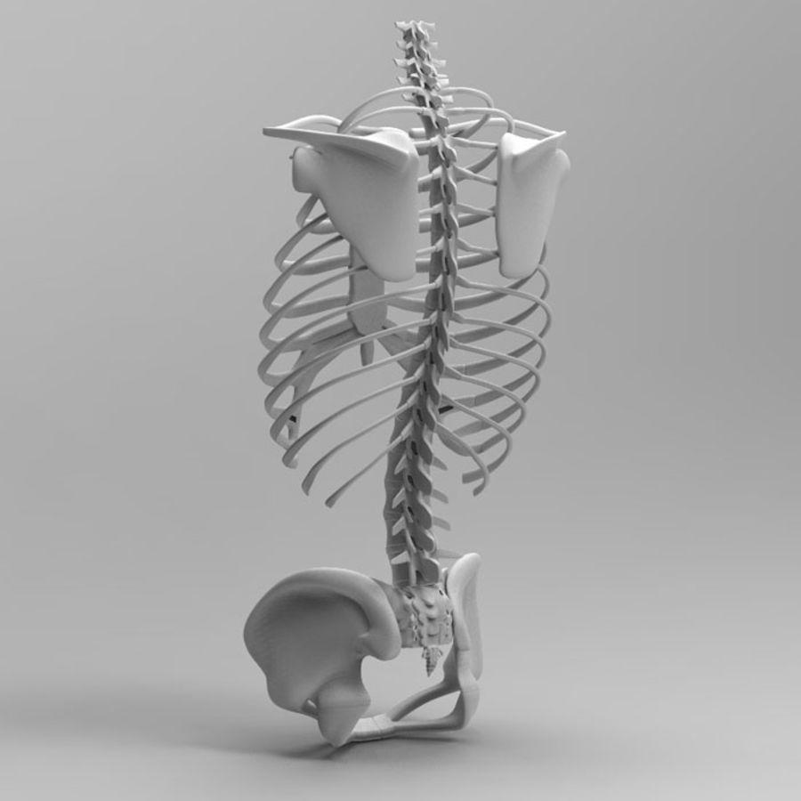 Ludzki szkielet tułowia royalty-free 3d model - Preview no. 5
