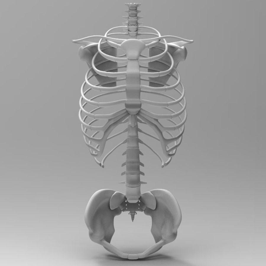 Ludzki szkielet tułowia royalty-free 3d model - Preview no. 3