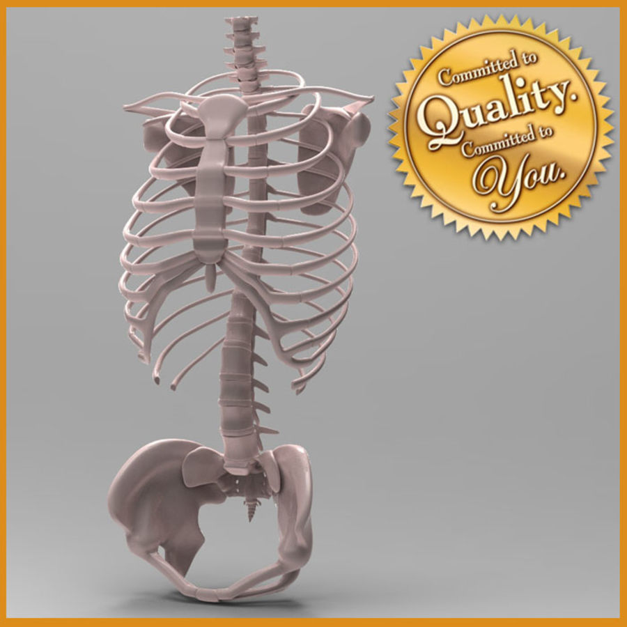 Ludzki szkielet tułowia royalty-free 3d model - Preview no. 1