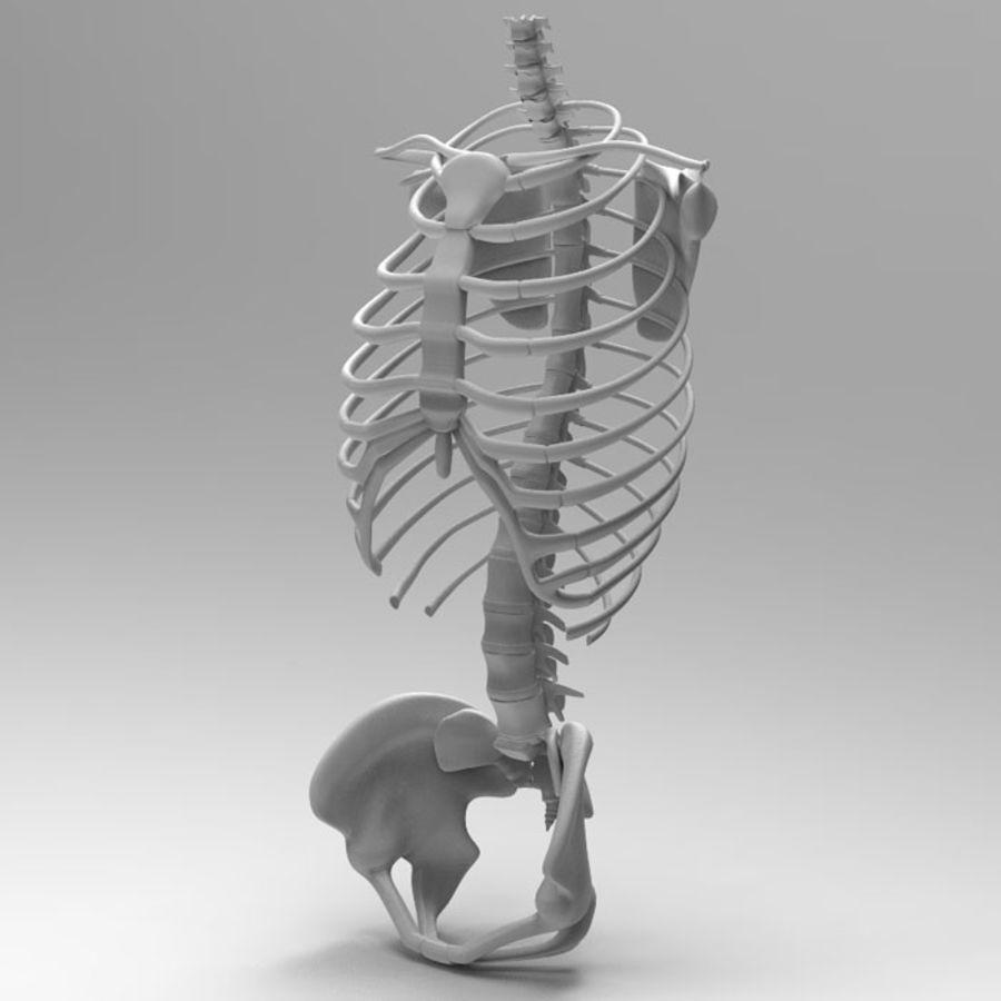 Ludzki szkielet tułowia royalty-free 3d model - Preview no. 2