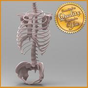 人間の骨格胴 3d model