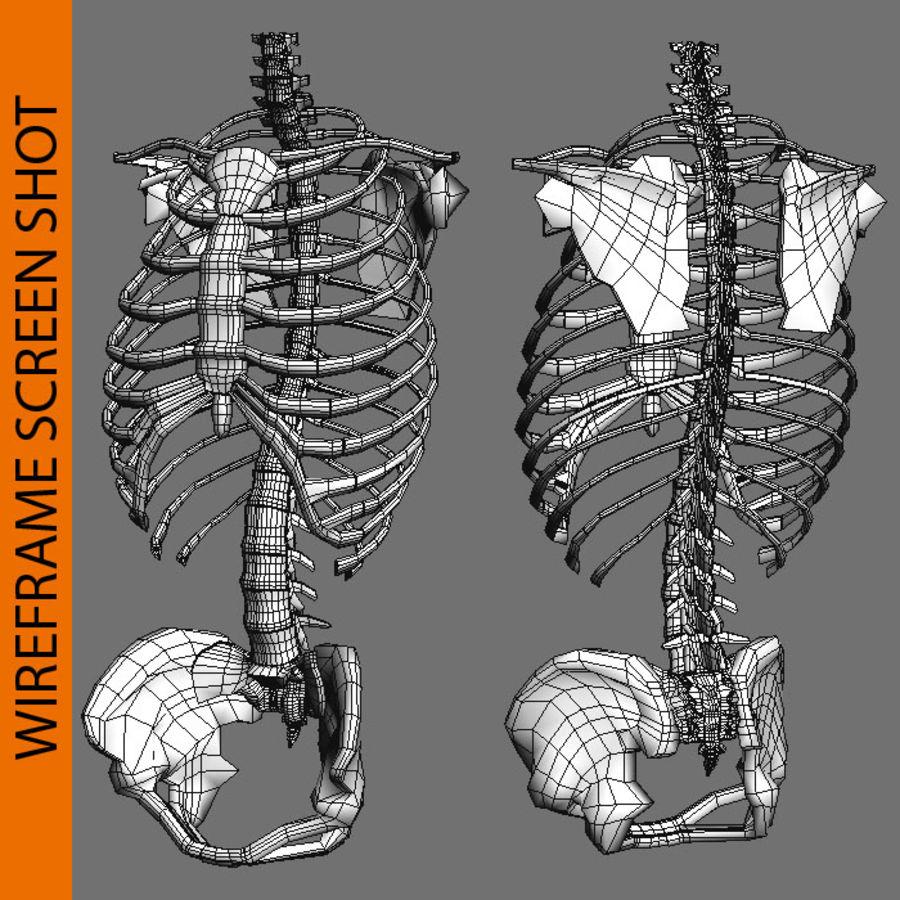 Ludzki szkielet tułowia royalty-free 3d model - Preview no. 7