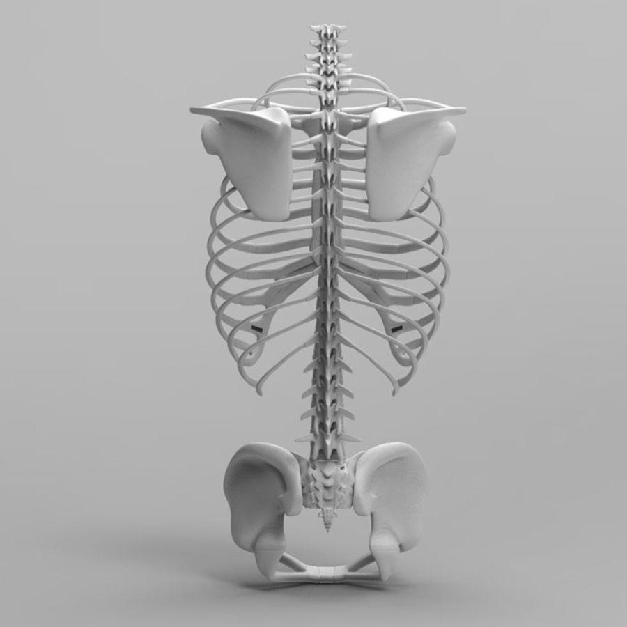 Ludzki szkielet tułowia royalty-free 3d model - Preview no. 6