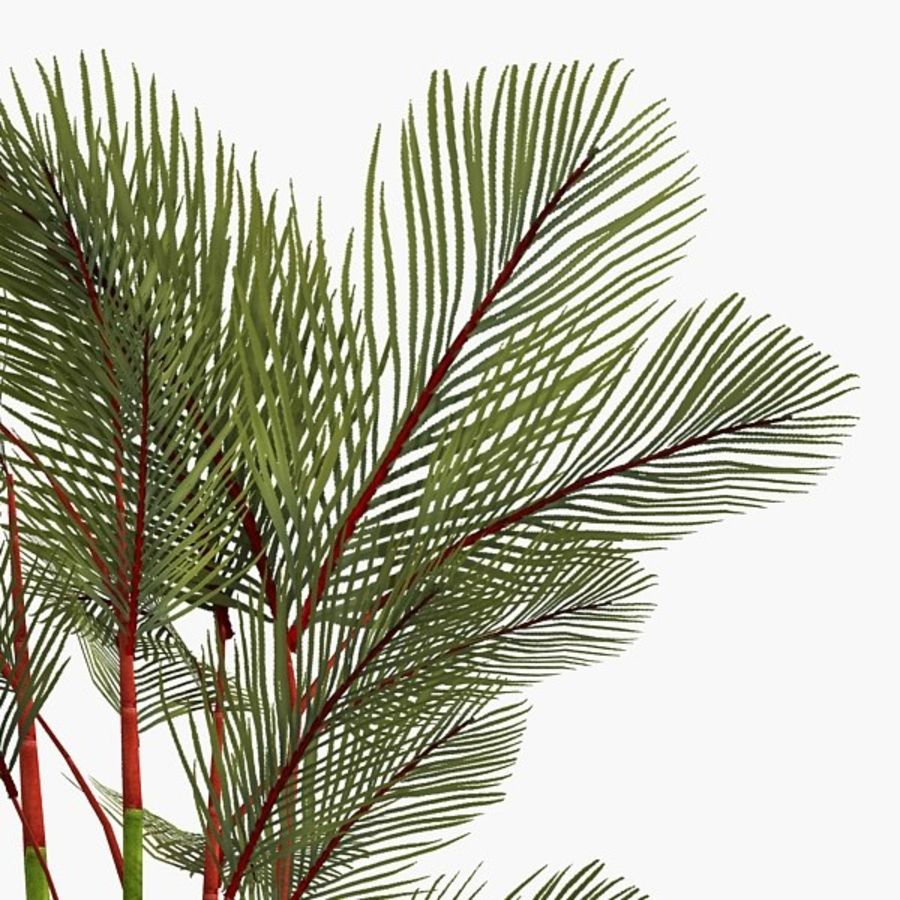 Plant Red Palm royalty-free 3d model - Preview no. 3
