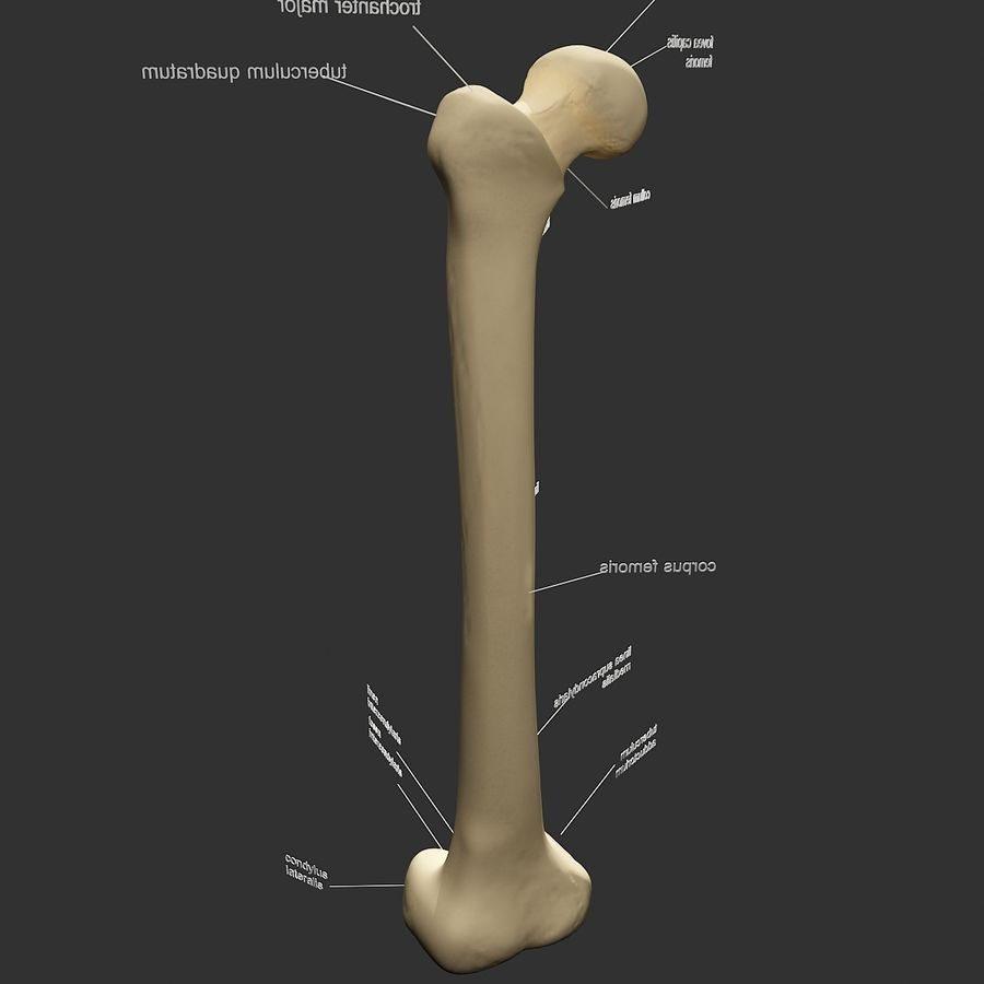 femur_3dsmax royalty-free 3d model - Preview no. 3