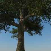 Platanus Tree Type1 3d model