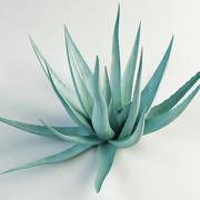 agave century plant 3d model