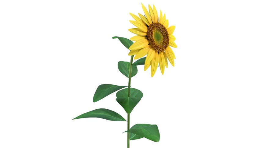 Sunflower royalty-free 3d model - Preview no. 4