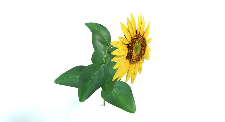 Sunflower royalty-free 3d model - Preview no. 8