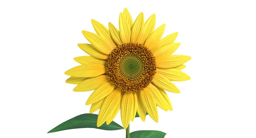 Sunflower royalty-free 3d model - Preview no. 7