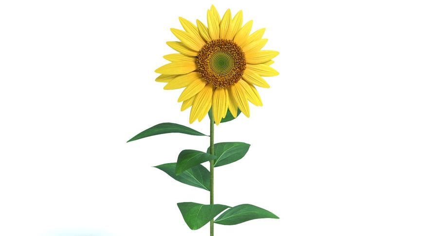Sunflower royalty-free 3d model - Preview no. 6