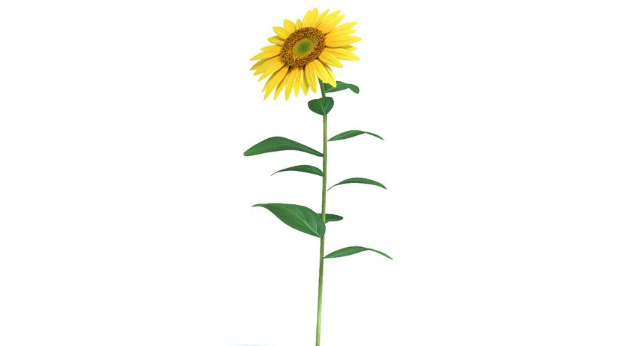 Sunflower royalty-free 3d model - Preview no. 5