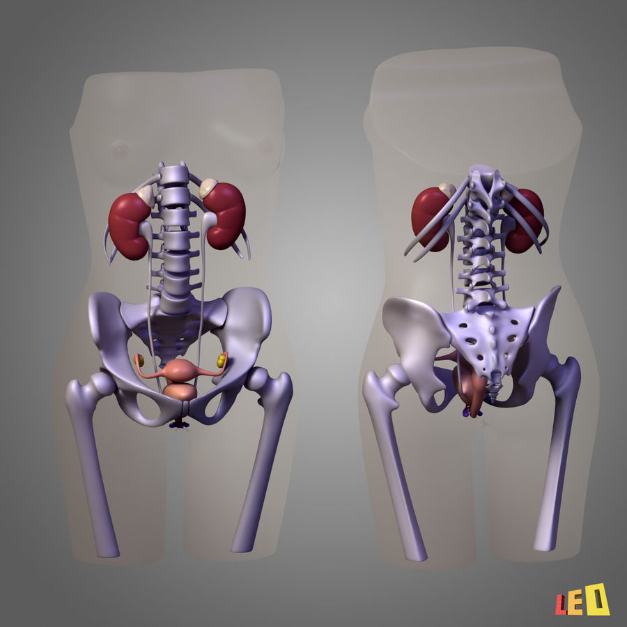Corps des os urogénitaux royalty-free 3d model - Preview no. 11