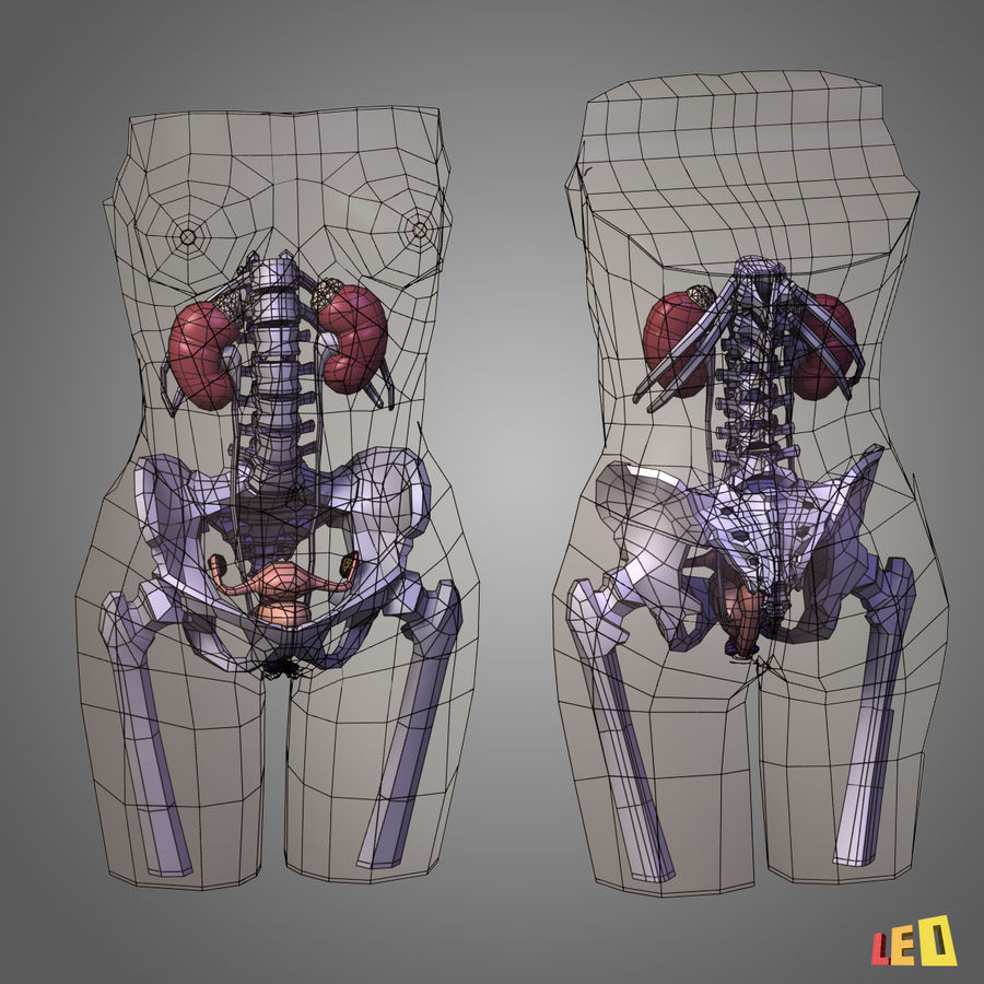 Corps des os urogénitaux royalty-free 3d model - Preview no. 3