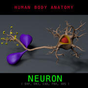 Neuron Anatomi Texturerad 3d model