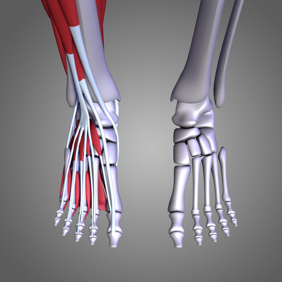 Leg muscles royalty-free 3d model - Preview no. 10