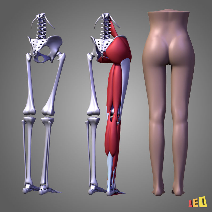 Leg muscles royalty-free 3d model - Preview no. 4