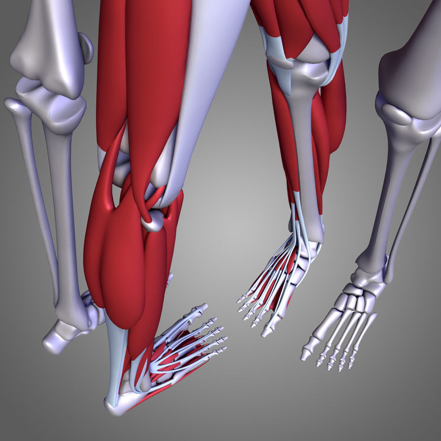 Leg muscles royalty-free 3d model - Preview no. 9