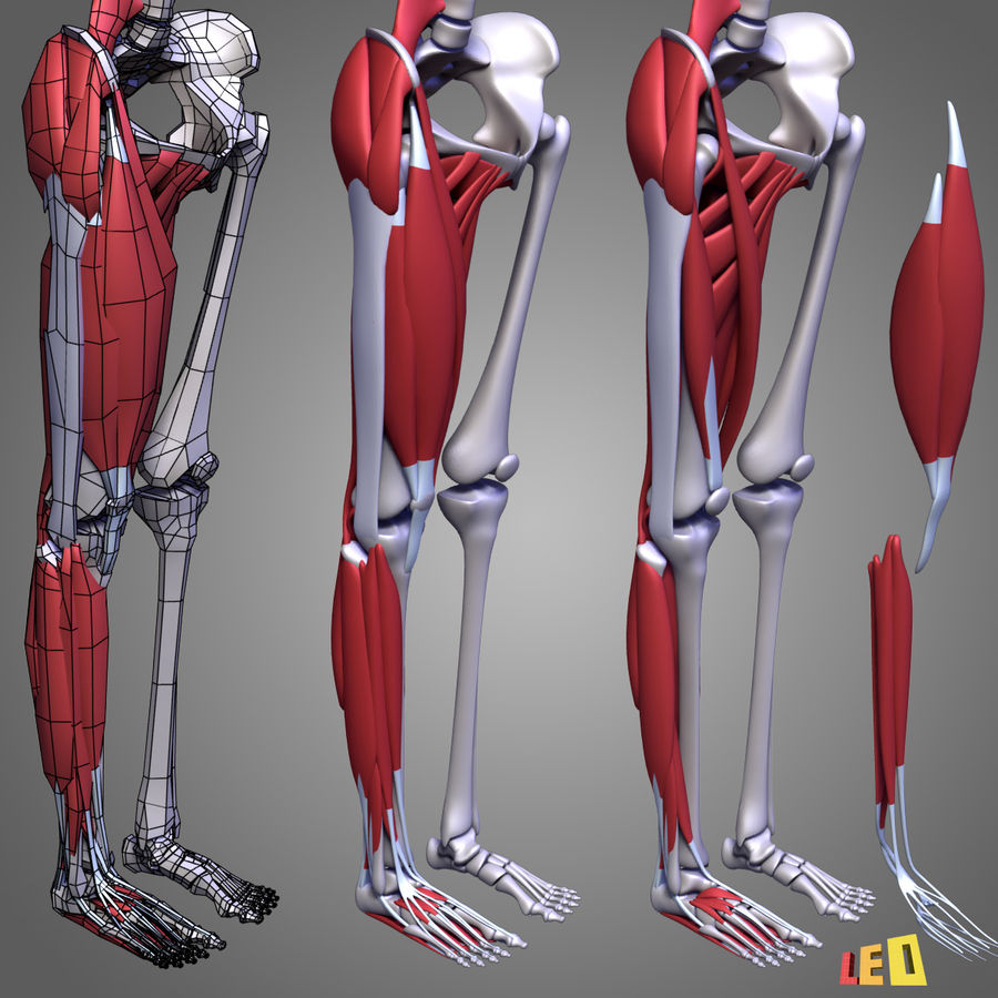 Leg muscles royalty-free 3d model - Preview no. 11