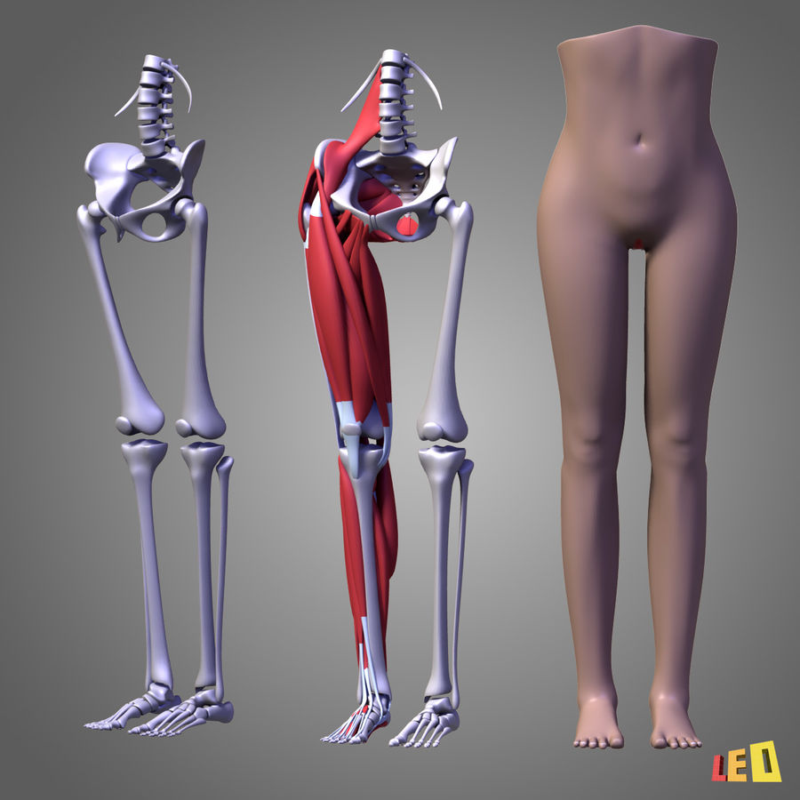 Leg muscles royalty-free 3d model - Preview no. 2