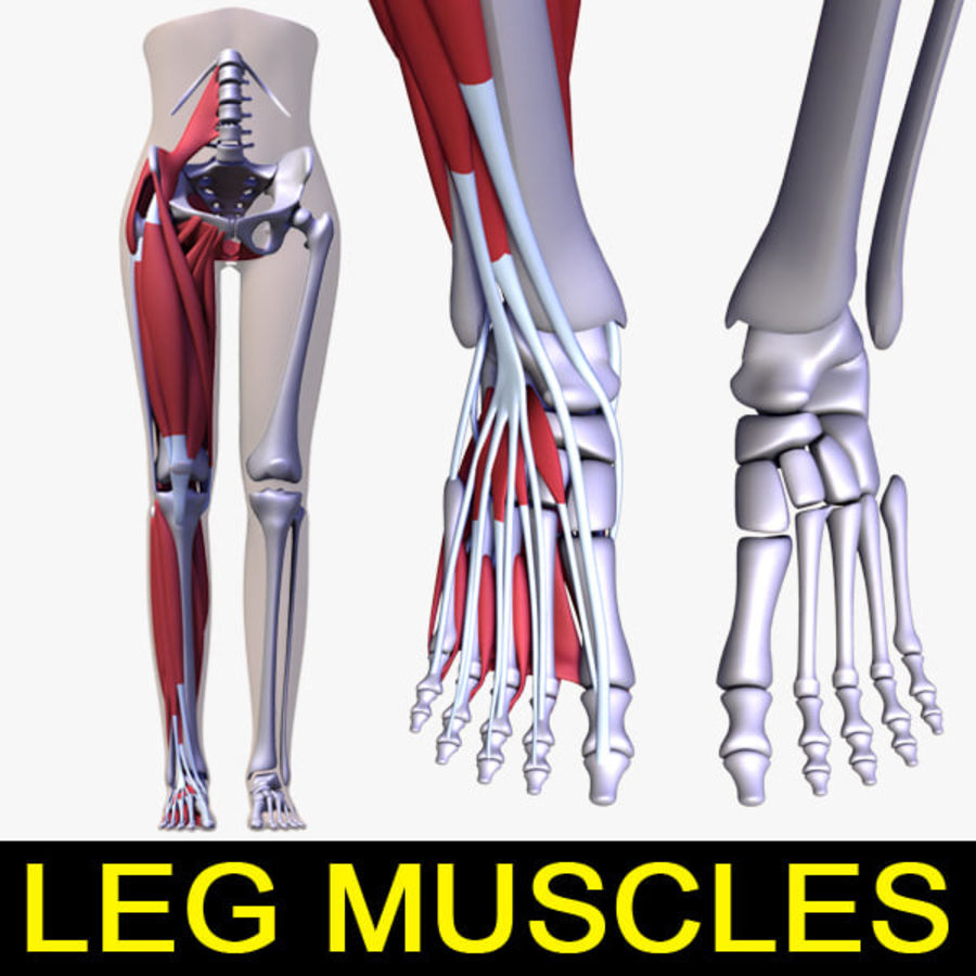 Leg muscles royalty-free 3d model - Preview no. 1