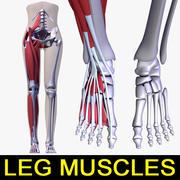 Músculos da perna 3d model