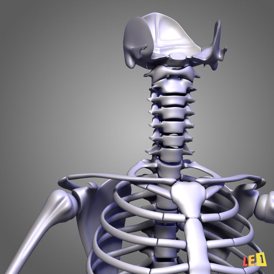 인체의 몸통 근육 royalty-free 3d model - Preview no. 12