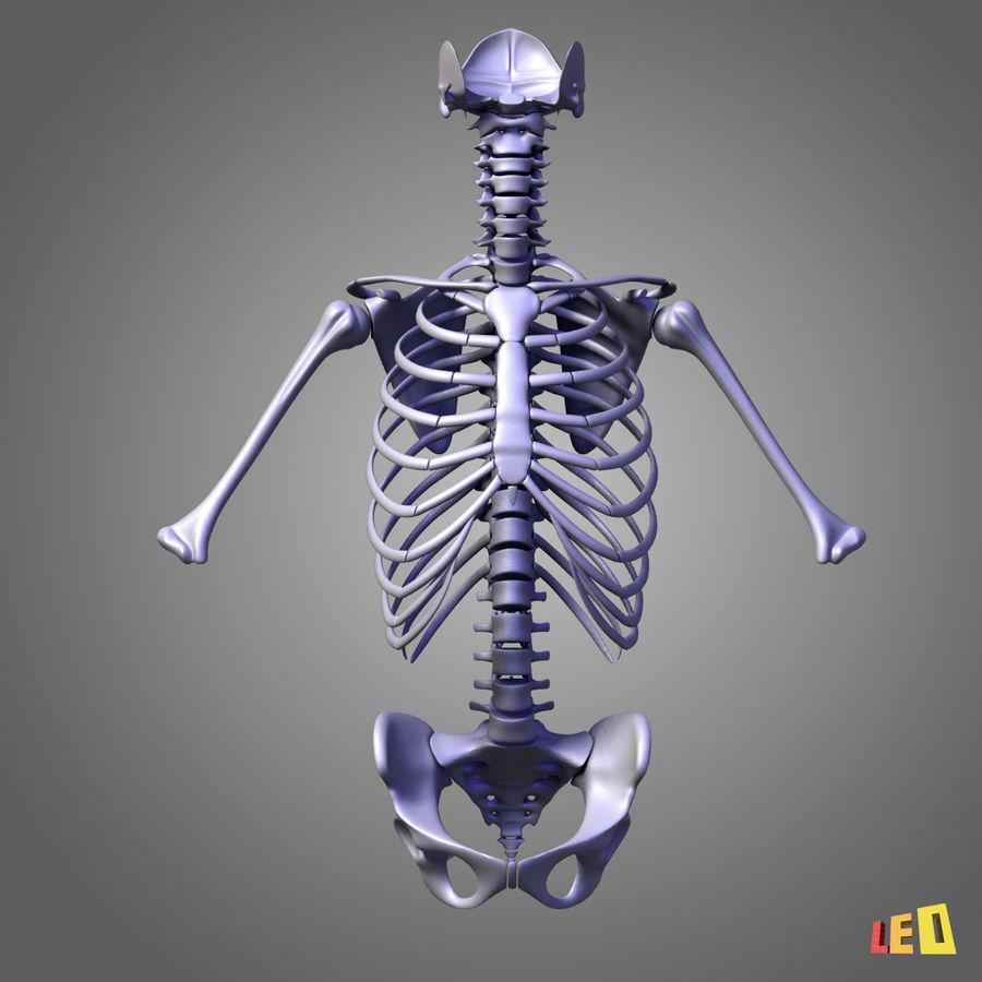 인체의 몸통 근육 royalty-free 3d model - Preview no. 5