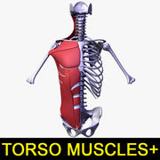Torso muscles of the human body 3d model
