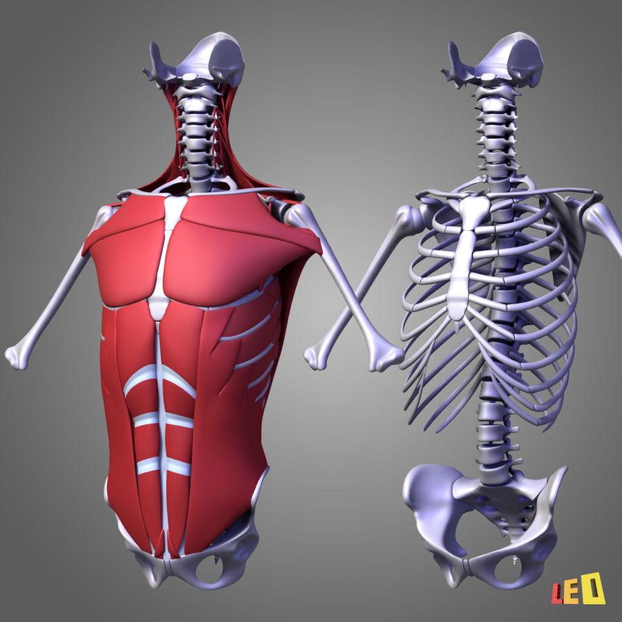 인체의 몸통 근육 royalty-free 3d model - Preview no. 11